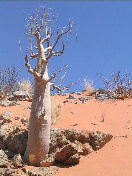 دانستنی ها گوناگون  , درخت گزروغن یا «درخت حیات»