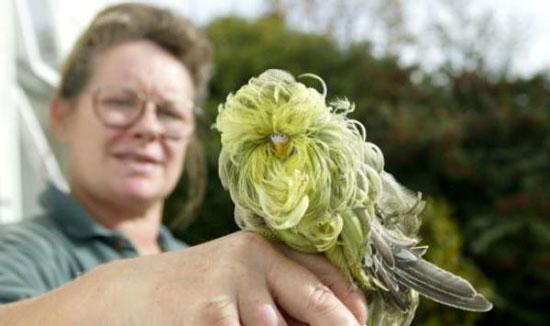زیباترین و عجیبترین مرغ عشق دنیا /عکس