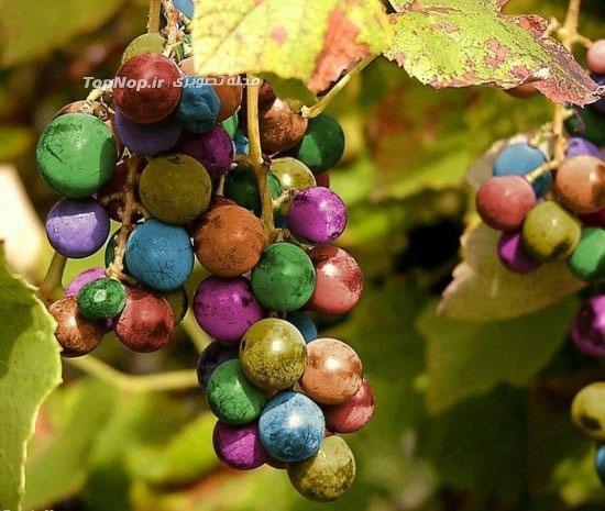 انگور های رنگین کمانی +عکس