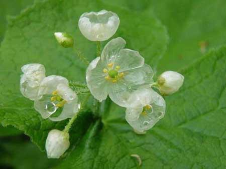 گل, گل اسکلتی, Diphylleia grayi ,گل نادر ,گل شگفت انگیز ,اخبار, اخبارگوناگون, شگفت انگیزترین گل, شگفت انگیزترین گیاهان,گل بی نظیر, گیاهان نادر, شگفت انگیزترین گل دنیا