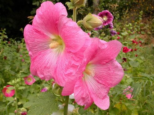 خواص گل ختمی, گل ختمی, خاصیت گل ختمی, خواص درمانی گل ختمی, خاصیت درمانی گل ختمی, گیاه ختمی, خواص گیاه ختمی, مشکلات دستگاه گوارش, درمان مشکلات گوارشی, دم کرده گل ختمی