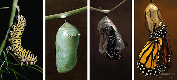 تغییر شکل پروانه - شفیره - پروانه شدن - دگردیسی