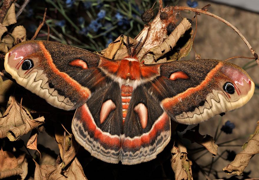 تغییر شکل پروانه شفیره