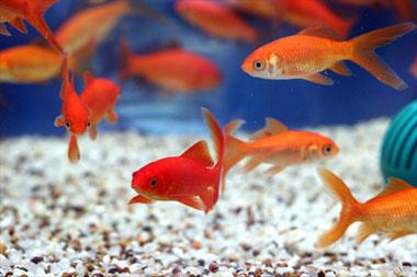 ماهی, ماهی قرمز, نگهداری ماهی قرمز عید