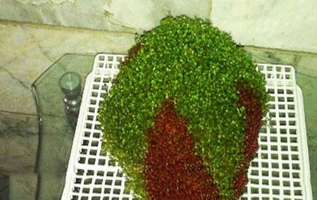 آموزش کامل کاشت سبزه عید دو رنگ