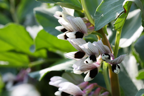 Broad-beans-flower - خواص باقلا - باقالا