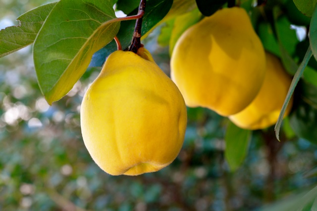 خواص میوه به و طریقه مصرف آن