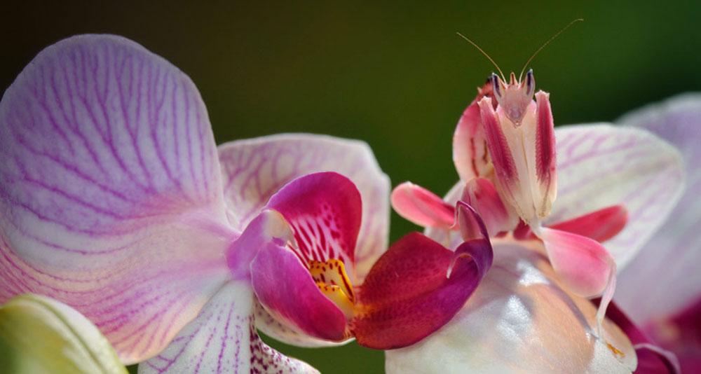 پرندگان بال مخفی, orchid mantis ,هیمنوپوس کوروناتوس,hymenopus coronatus , آخوندک گلی,مانتیس ارکیده