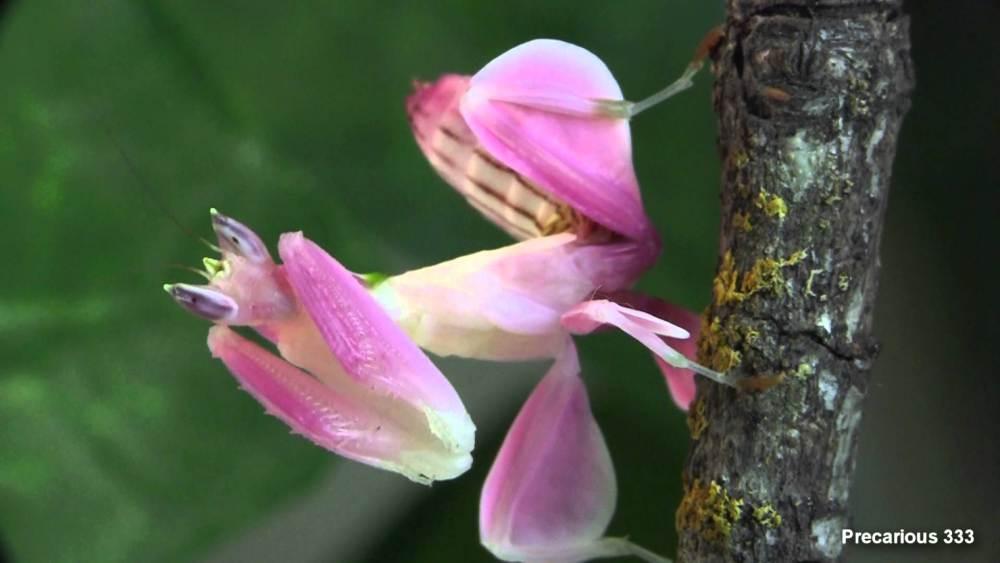 پرندگان بال مخفی, orchid mantis ,هیمنوپوس کوروناتوس,hymenopus coronatus , آخوندک گلی,آخوندک ارکیده, مانتیس ارکیده