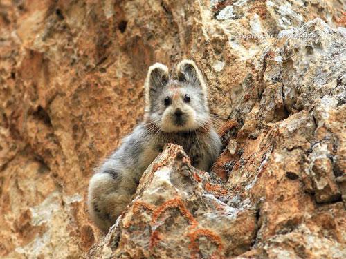 Ili pika - عکس خرگوش جادویی - Ili pika - Ochotona iliensis - چین - پیکا - خرگوش بیدم - خرگوش بی دم