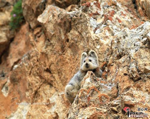 عکس خرگوش جادوئی - Ili pika - Ochotona iliensis - چین - پیکا - خرگوش بیدم - خرگوش بی دم