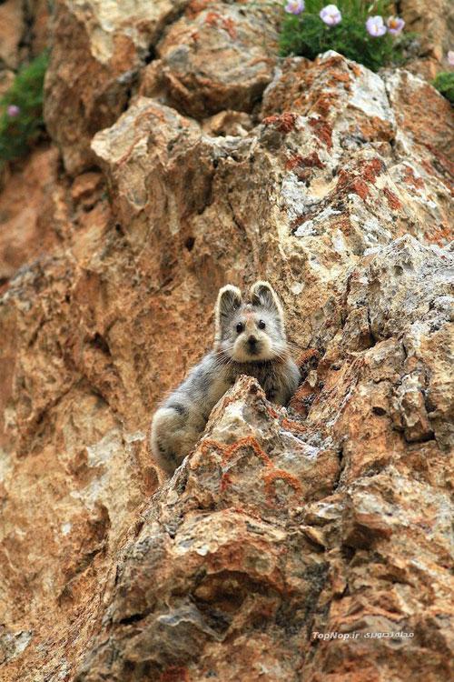 Ili pika - خرگوش جادویی - عکس خرگوش جادویی - Ili pika - Ochotona iliensis - چین - پیکا - خرگوش بیدم - خرگوش بی دم