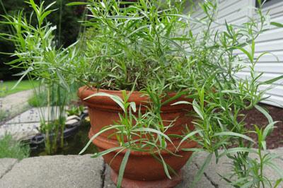 ترخون, خواص ترخون, نحوه کاشت گیاه ترخون