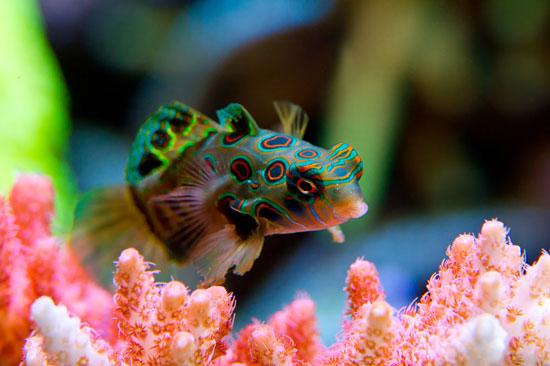 ماهی اژدهایی , ماهی ماندارین, ماهی اژدهائی ,Synchiropus splendidus