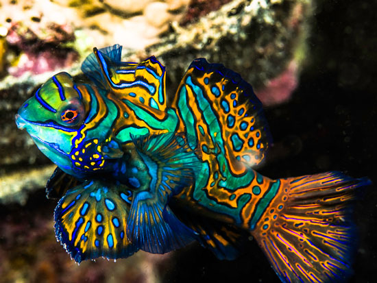 ماهی ماندارین, ماهی اژدهائی ,Synchiropus splendidus