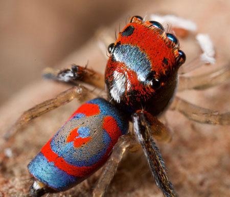 peacock-spider_11
