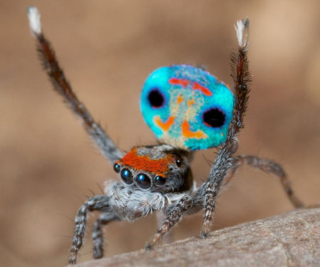 peacock-spider_7
