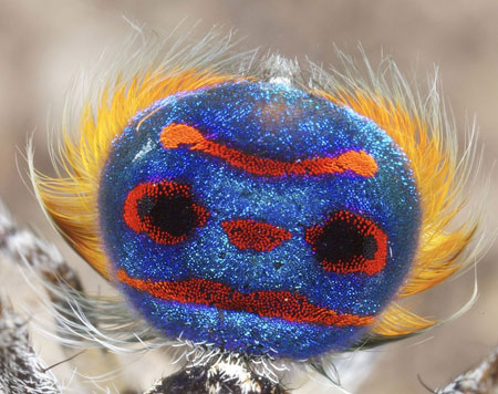 peacock-spider_2