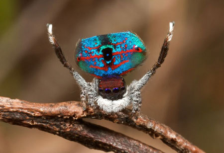 تصاویر دیدنی عکس و کلیپ  , عنکبوت طاووسی زیبا و شگفت انگیز