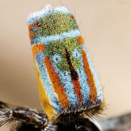 عنکبوت طاووسی , زیباترین عنکبوت جهان, عنکبوت پیکاک ,Maratus volans