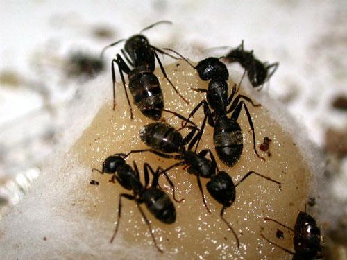 رهایی از شر مورچه ها - دفع مورچه ها