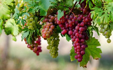 خواص درمانی انگور - خواص انگور - مضرات انگور