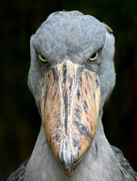 لک لک نیل - Shoebill Stork