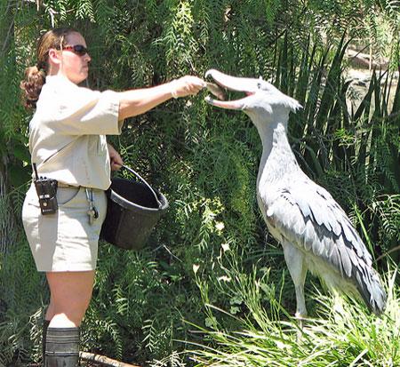 لک لک بسیار بزرگ - Shoebill Stork