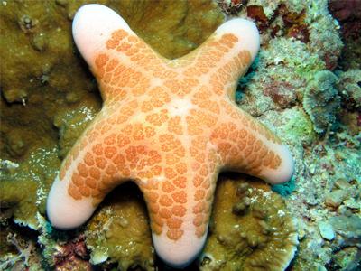 دانستنی های جالب درباره ستارههای دریایی