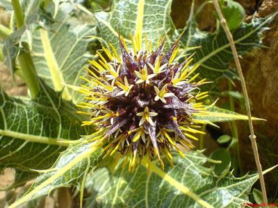 فواید و خواص درمانی کنگر - گیاه کنگر