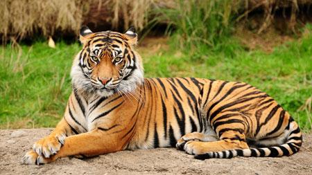 635378617865539568_Bengal-Tiger-Wallpaper-Desktop-4