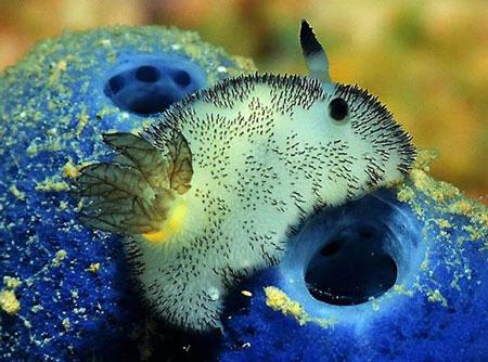خرگوش دریایی - sea bunnies