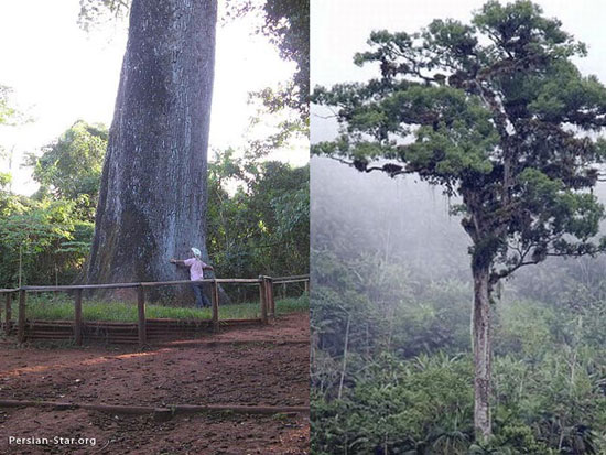 تنومندترین درختان جهان