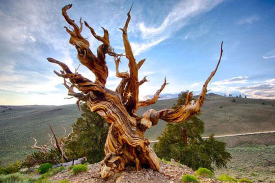 قدیمی ترین درختان جهان