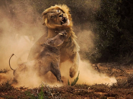 تصاویر دیدنی از نبرد شیر و گراز وحشی