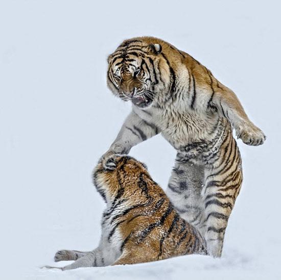 شکار لحظه ها دنیای حیوانات