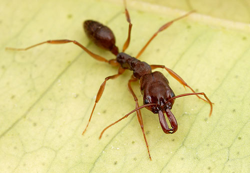 مورچه ای با سرعت بالغ بر ۲۳۳ کیلومتر + عکس