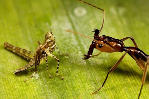مورچهای با سرعتی بالغ بر ۲۳۳ کیلومتر + عکس