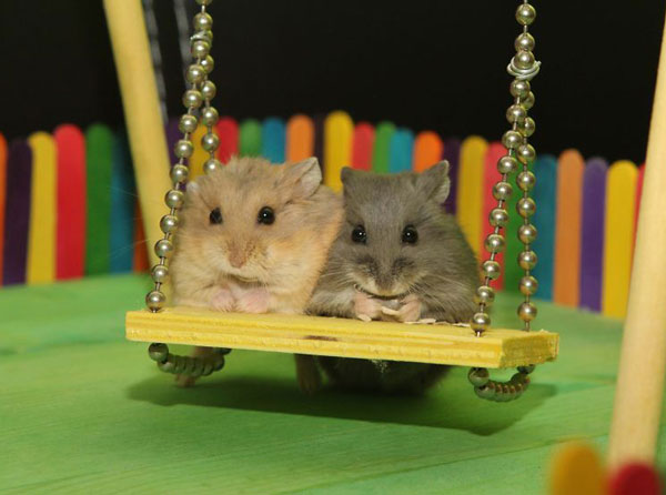 همسترهای خانگی - همسترهای بامزه