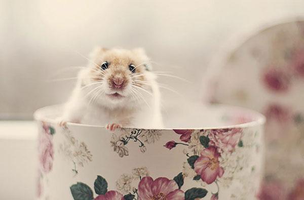 همستر کوچولو,همستر بامزه,همستر خانگی