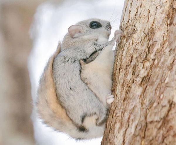 سنجاب های سیبری - سنجاب ژاپنی - سنجاب پرنده