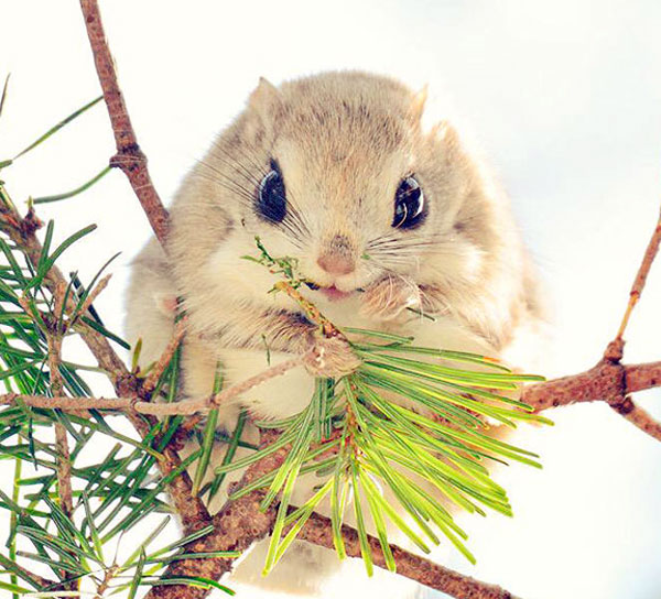 سنجاب سیبری - سنجاب ژاپنی - سنجاب پرنده