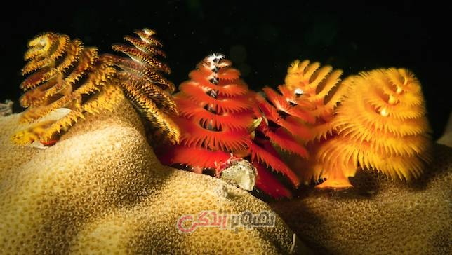 کرم درخت کریسمس, Christmas tree worm
