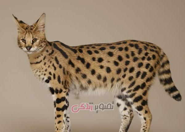 حیوانات ترکیب شده , گربه
