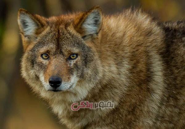 حیوانات ترکیب شده , گرگ