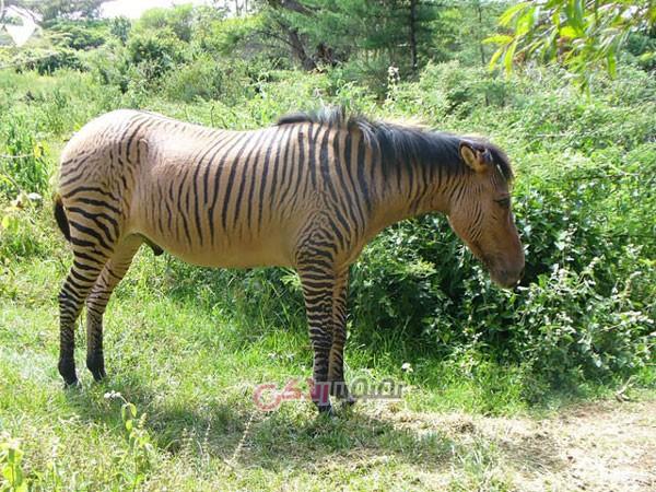 حیوانات ترکیب شده , اسب