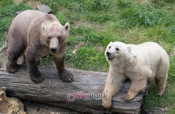 حیوانات ترکیب شده , خرس