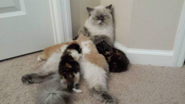 عکس بچه گریه - خانواده پیشی ها - شیرخوردن گربه ها