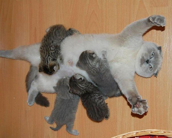 عکس بچه گریه - شیرخوردن بچه گربه ها