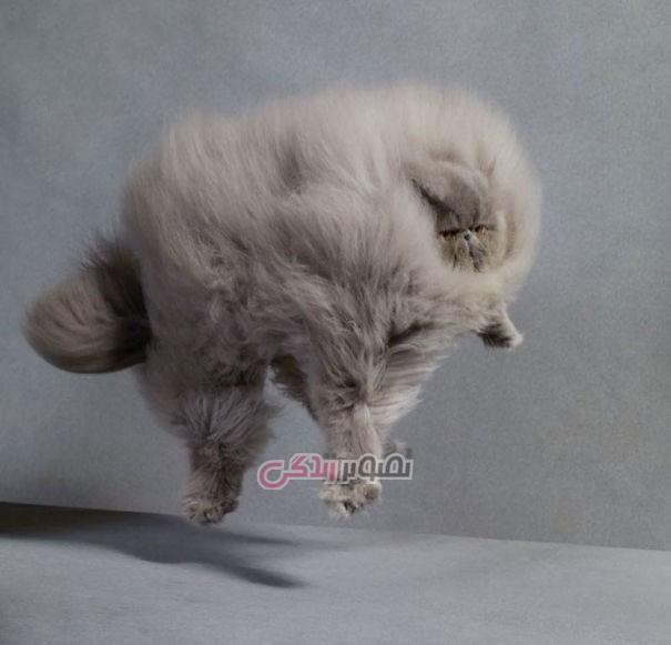 عکس گربه - گربه های پشمالو - گربه های ملوس